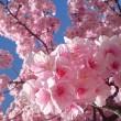 敷島公園の河津桜