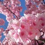 桜の名所 敷島公園河津桜情報 /前橋市敷島町