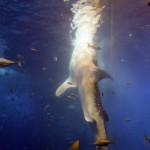 餌を食べるジンベイザメ