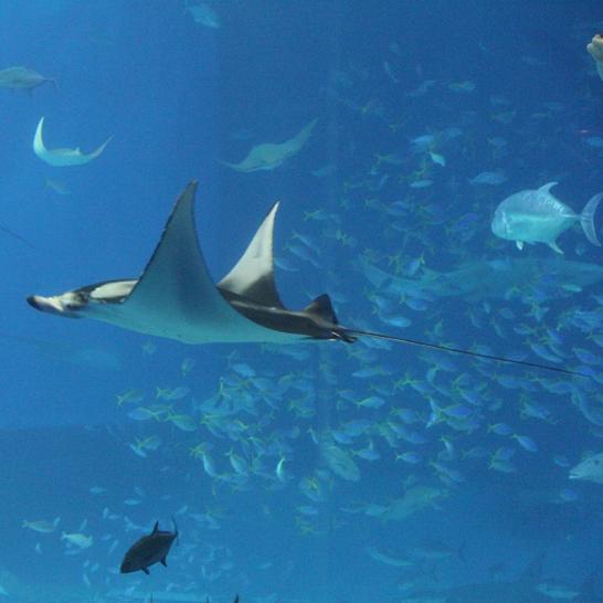 美ら海水族館のマンタ