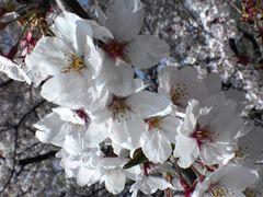 敷島公園の桜花見