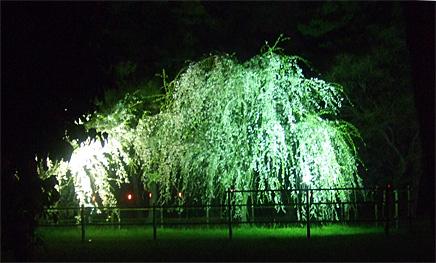敷島公園ライトアップ桜