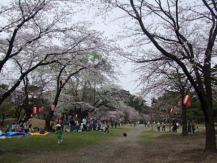 敷島公園 桜