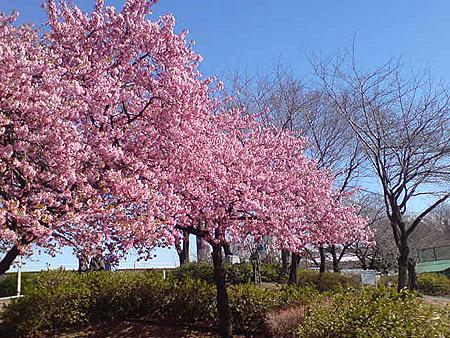桜の名所 敷島公園桜情報